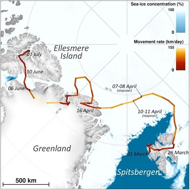 Za samo tri mjeseca arktička lisica prijeđe 3500 km snijega i leda.