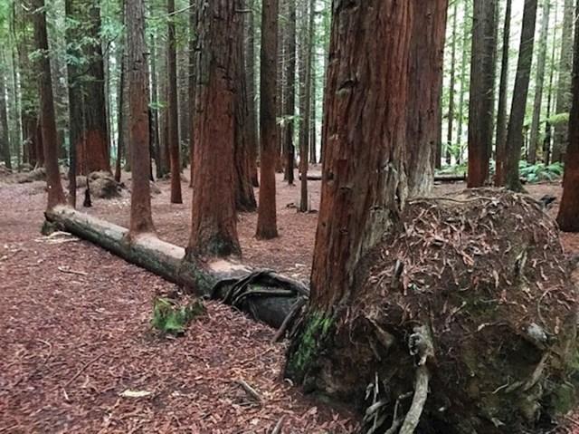 Iz ovog srušenog drveta je naraslo više njih...
