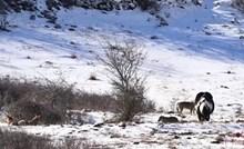 VIDEO Netko je ugledao konja kojeg je okružio čopor vukova, uslijedila je reakcija koju nikako nisu očekivali