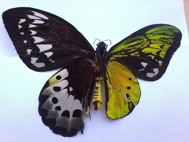 Ovaj leptir je bilateralni ginandromorf. Doslovno je pola muško, pola žensko. Ova pojava nastaje zbog greške u mitozi.