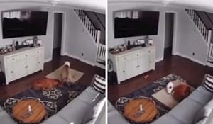 VIDEO Kućna kamera snimila je presladak trenutak kad je zabrinuti pas pomogao prijatelju