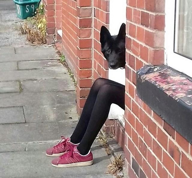 Zašto ovaj pas ima toliko duge noge?