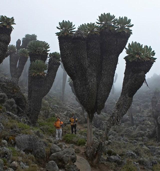 Ove neobično velike biljke mogu se pronaći samo na planini Kilimandžaro u Africi.