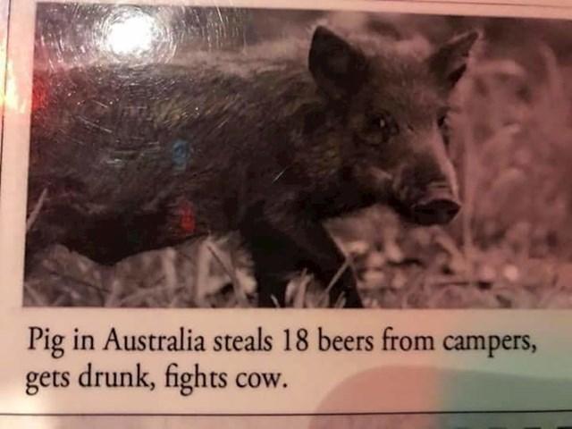 """""""Prašćić Babe"""" je bio solidan film, no ovo zvuči još zanimljivije: """"Svinja u Australiji od kampera je ukrala 18 pivi, napila se i napala kravu."""""""