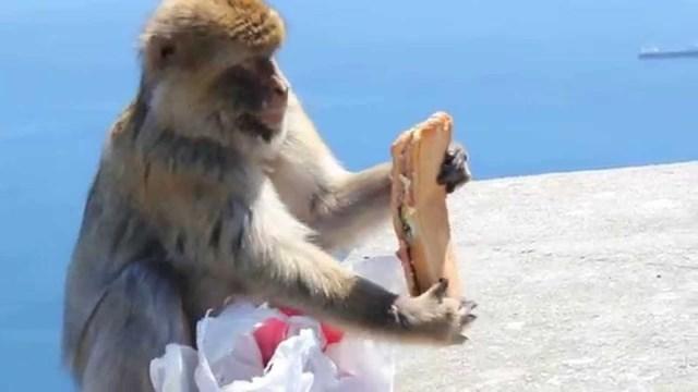 I ovaj majmunčić je nekome ukrao sendvič.