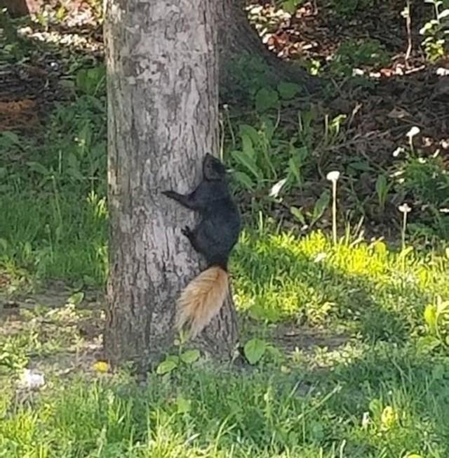 Vjeverica s repom koji je druge boje
