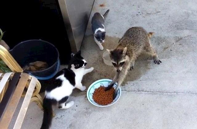 Ovaj rakun došao je mačkama ukrasti ručak.
