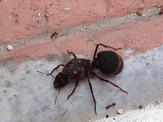 Ovi ljudi su nakon poplave naišli na ogromnog mrava. Pogledajte koliki je u usporedbi s običnim mravom.