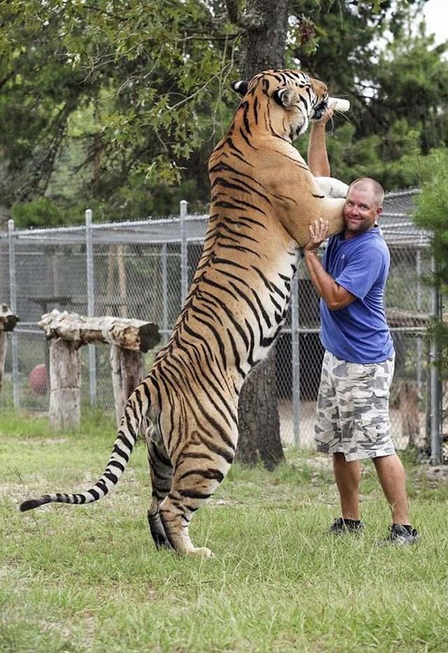 Sibirski tigar u usporedbi s čovjekom