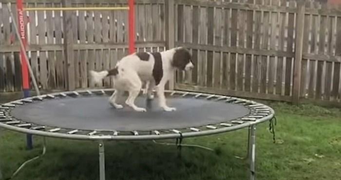 Pas je shvatio da je trampolin nešto jako zanimljivo, vlasnica je snimila smiješnu reakciju
