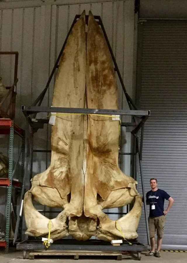 Lubanja plavog kita je ogromna...