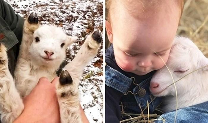 Dirljiva priča i nevjerojatno otkriće: Nitko ne voli mrgude, pa tako ni koze!