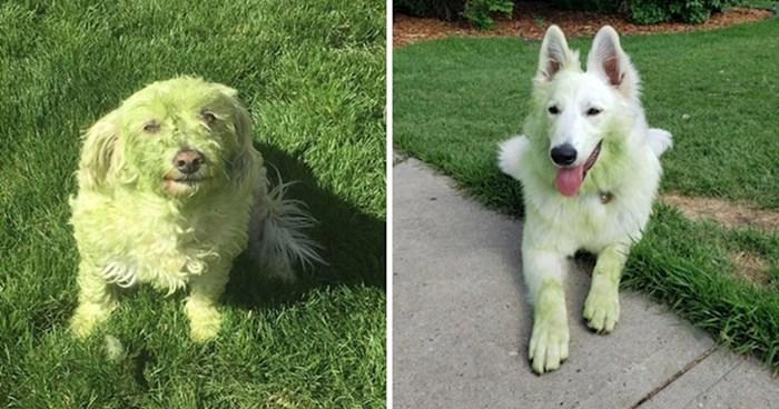 21 fotografija preslatkih pasa koji su se zaprljali u svježe pokošenoj travi
