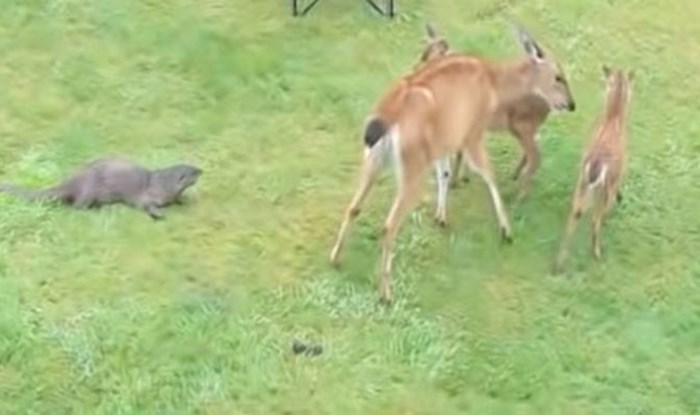 VIDEO Nevjerojatna igra vidre i jelena izmamit će vam osmijeh