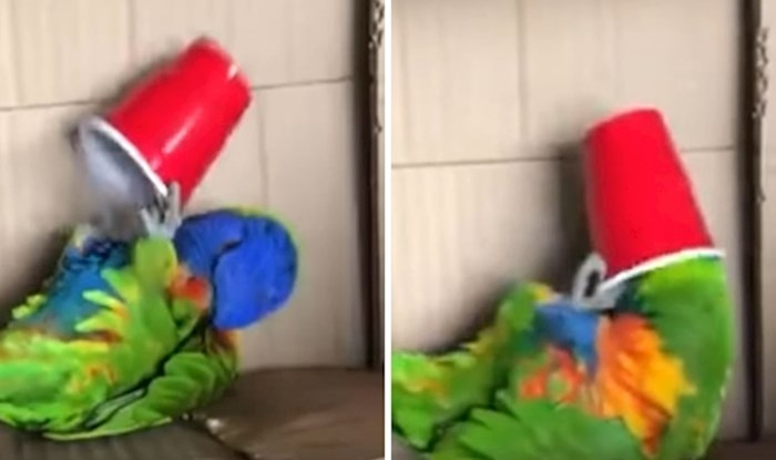 VIDEO Ova papiga najviše se voli igrati plastičnom čašom