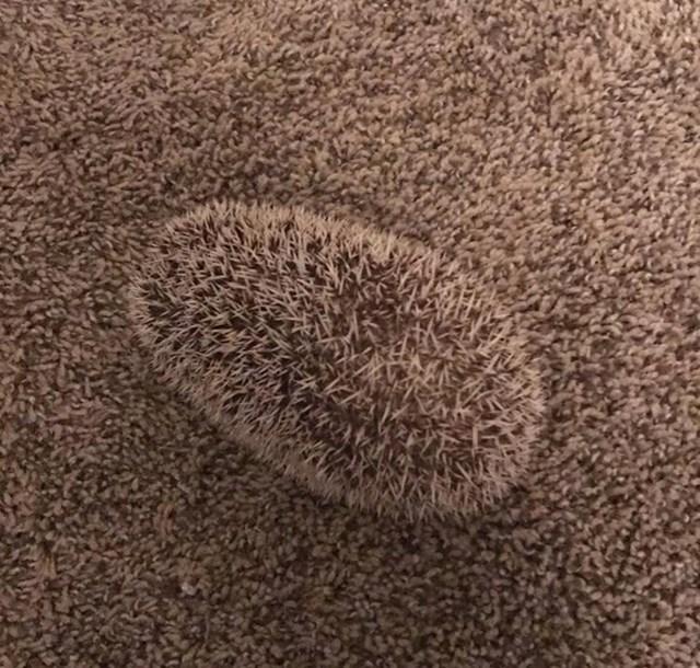"""""""Moj jež se skoro savršeno uklapa u teksturu tepiha."""""""