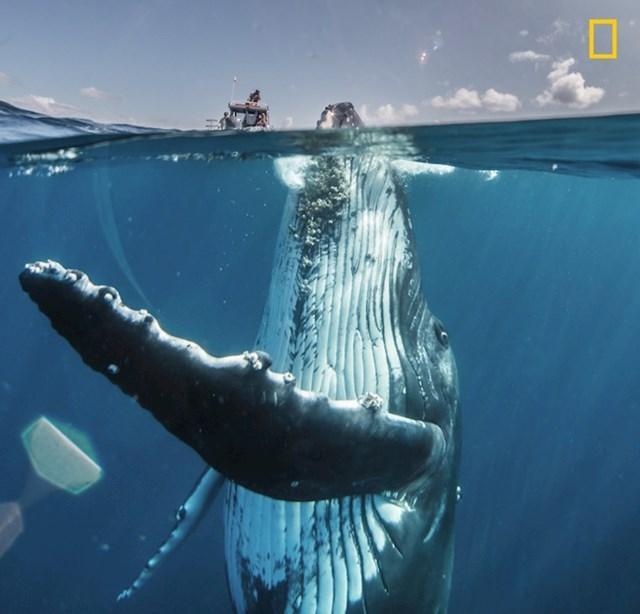 Zaigrani kit negdje u južnom Pacifiku.