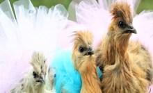 Fotografije kokoši u suknjicama oduševile su internet