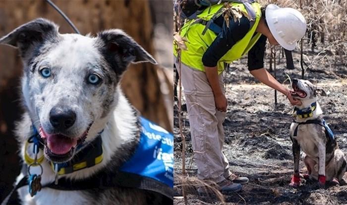 Nakon što su ga vlasnici odbacili, ovaj pas je postao heroj koji spašava preživjele koale nakon velikih požara