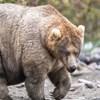 Nacionalni park na Aljasci održava godišnje natjecanje za najbucmastijeg medvjeda
