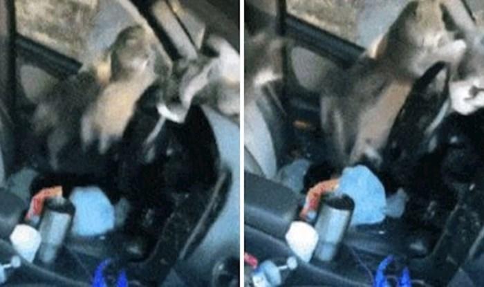 Pogledajte kako su ove mačke lutalice počele skakati po autu čovjeka