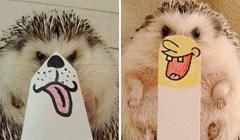 Upoznajte Marutara - preslatkog ježa modela