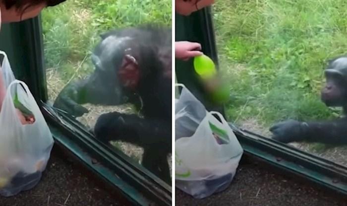 VIDEO Pametna čimpanza u zoološkom vrtu na odličan način objasnila posjetiteljima da želi njihovo piće