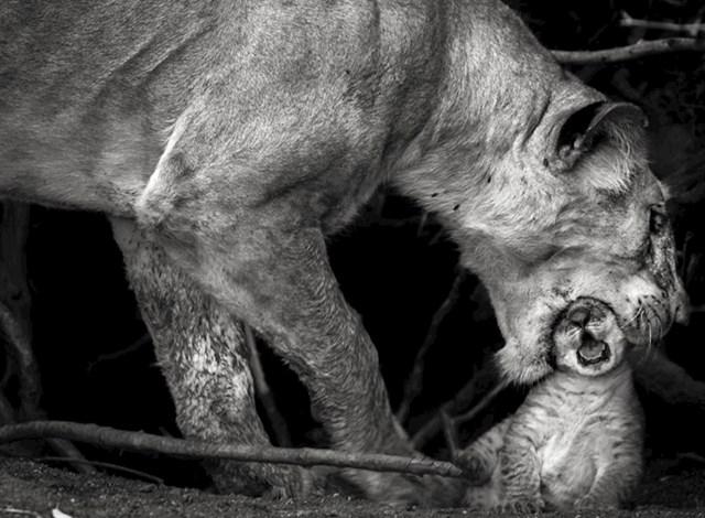Lavica pokušava pomaknuti svoje mladunče tako da ga čvrsto ustima zgrabi za glavu.