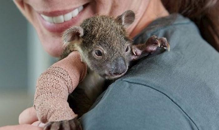 Preslatka koala stara samo 150 dana dobila minijaturni gips na ruci nakon pada sa stabla