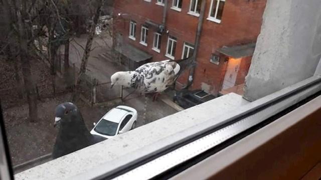 6. Divovski golubovi