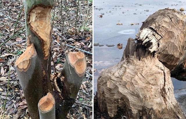 4. Stabla koja su uništili dabrovi.