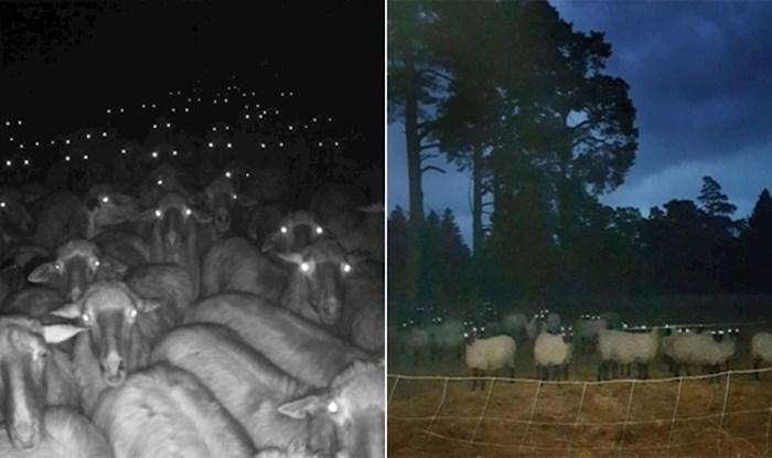 Ovce noću mogu izgledati stvarno jezivo, prikupili smo 22 fotke koje to potvrđuju