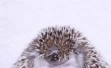 Zijevanje ovog preslatkog ježića odmah će vam izmamiti osmjeh na lice