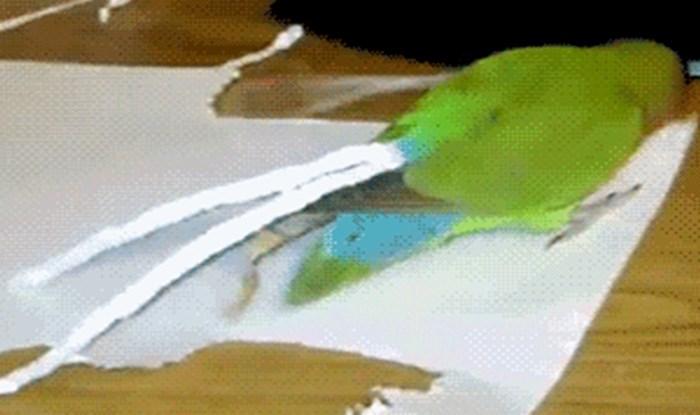 Presmiješna papiga odlučila se malo ukrasiti, ovo je genijalno