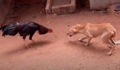 VIDEO 15 puta kad su životinje dokazale da veličina nije važna