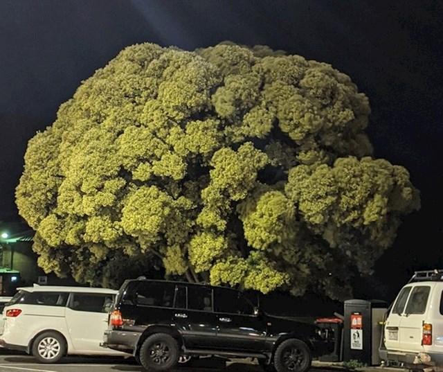 6. Krošnja ovog drveta izgleda kao brokula