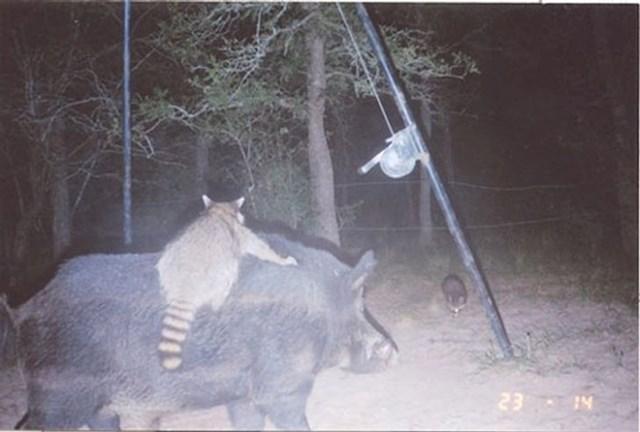 Rakun je zajahao divlju svinju.