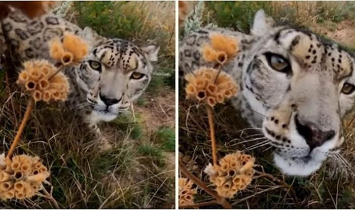 VIDEO Ovako izgleda kad se divlji leopard upozna s GoPro kamerom