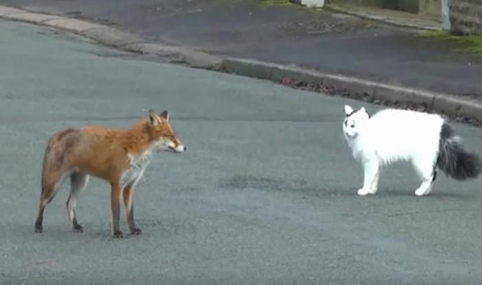 VIDEO Mačka i lisica susrele su se na ulici i odmah se sprijateljile