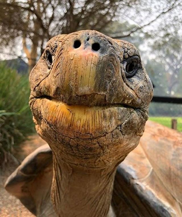11. Kornjača s Galapagosa izbliza.