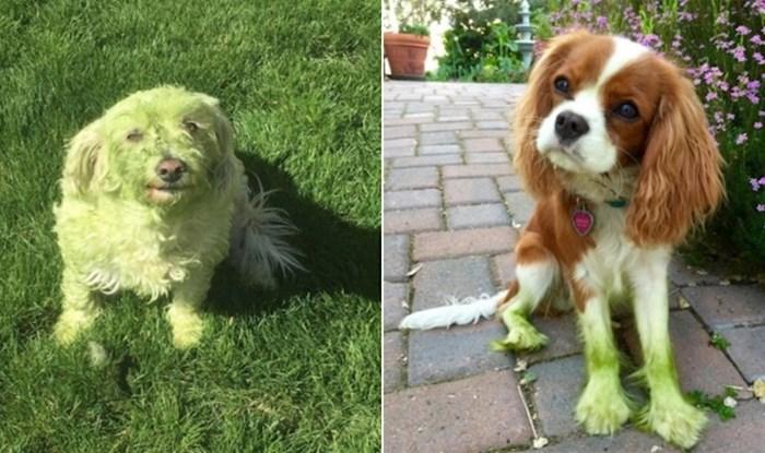 20 pasa koji su doslovno pozelenili od igranja u svježe pokošenoj travi
