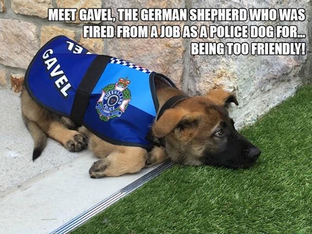 Upoznajte Gavela, njemačkog ovčara koji je bio policijski pas i dobio otkaz - zato što je bio previše prijateljski nastrojen.