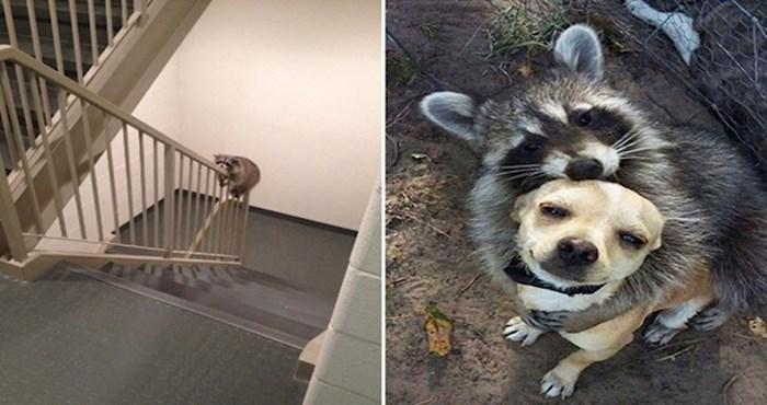 20 simpatičnih fotki koje pokazuju da su rakuni zapravo jako slatki