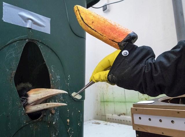 1. Ovako timaritelji hrane mladunce tukana u zoološkom vrtu u Pragu.