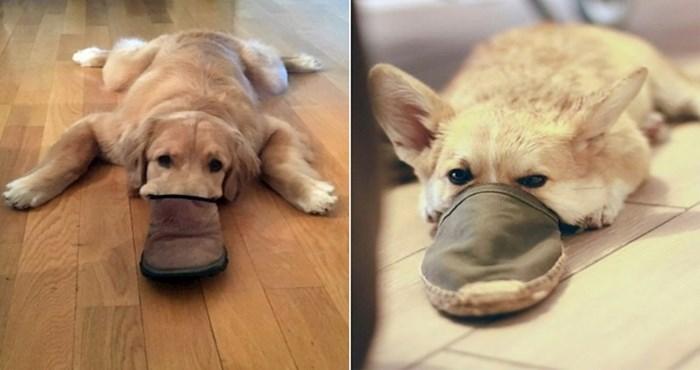 22 smiješne fotke pasa koji obožavaju gurati njušku u obuću