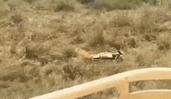 Lavica je već zgrabila mladunče zebre, ali onda se dogodilo nešto neobjašnjivo