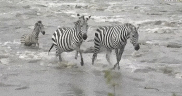 Mladunac zebre za dlaku je izbjegao napad predatora, ovo je nevjerojatno
