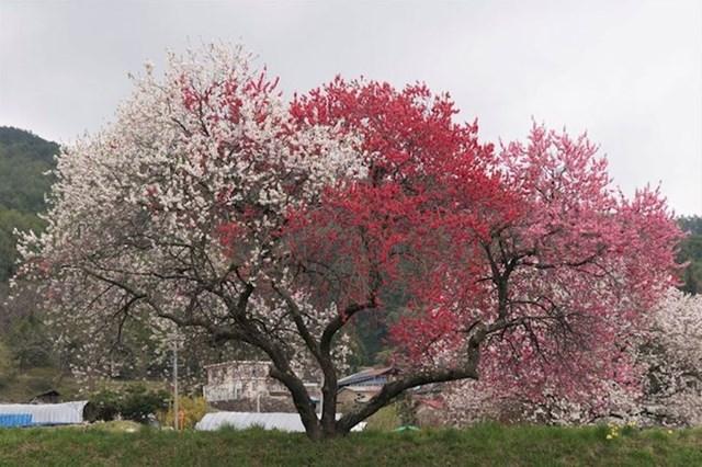 10. Stablo breskve koje je procvjetalo u tri različite boje