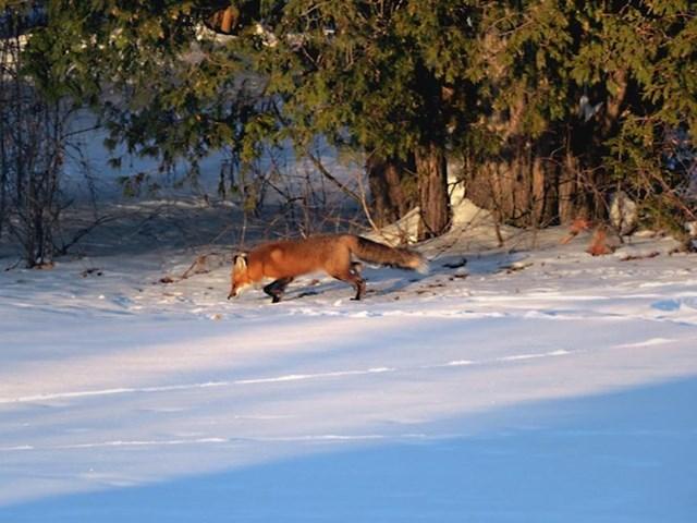 8. Lisice se također mogu često susresti u velikom dijelu Kanade