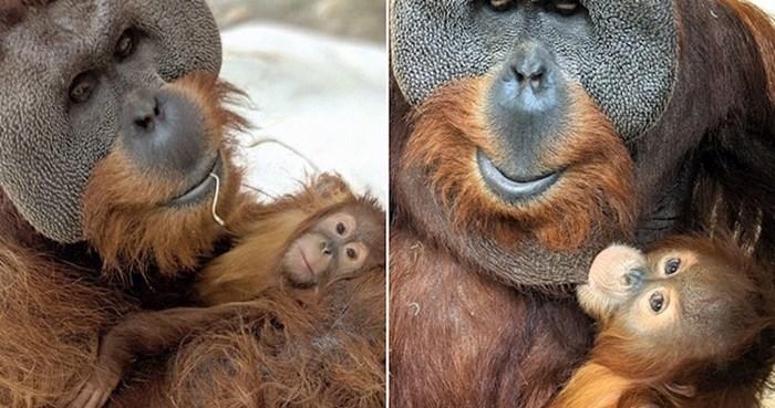 Mužjak orangutana pokazao svoju nježnu stranu, preuzeo je brigu za mladunče bez majke